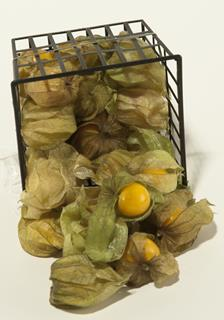 Physalis ask