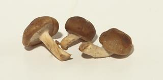 Svamp shiitake mini